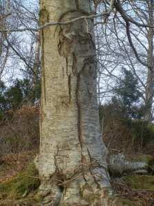 Kan trær få strekkmerker sånn som gravide mager? Førde.