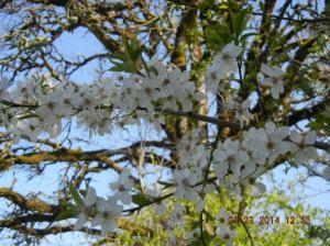 Ett eller annet som blomstrer. Veslemøy mener det er vill-plommer.
