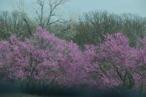 Det blomstrer noe vakent. Noen som vet hva dette treet kan være for noe? Det er overalt langsetter veien i Oklahoma.