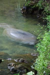 For en skapning. Manatee, eller sjøku. Ca 500 kg og kan bli opptil 60 år.